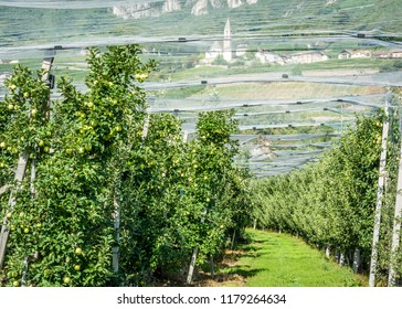 """Intensive Fruit Production or Orchard with Crop Protection Nets in South Tyrol, Italy. Apple orchard of variety """"Golden delicious apple"""""""