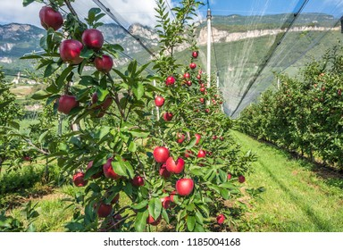 "Intensive Fruit Production or Orchard with Crop Protection Nets in South Tyrol, Italy. Apples orchard of new variety ""Royal gala apple"""