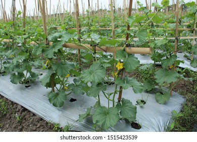 Intensive melon cultivation through a plumbing system so that spacing and exposure to sunlight are sufficient for all plants. Water availability can be evenly distributed.