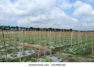 Intensive melon cultivation through a separation system so that spacing and exposure to sunlight are sufficient for all plants. Water availability can be evenly distributed.