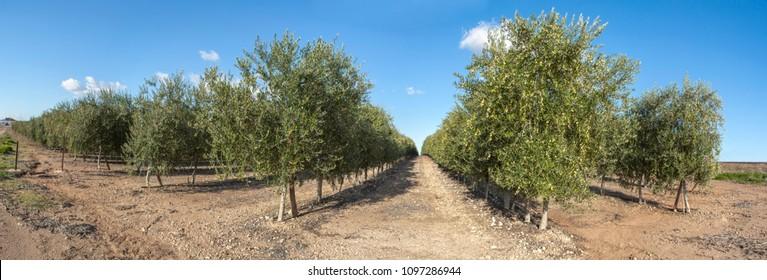 Intensive olive trees plantation, Extremadura, Spain. Panoramic