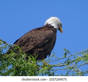 An intent American bald eagle atop a willow tree against a blue sky; Green Valley Park in Payson, Arizona