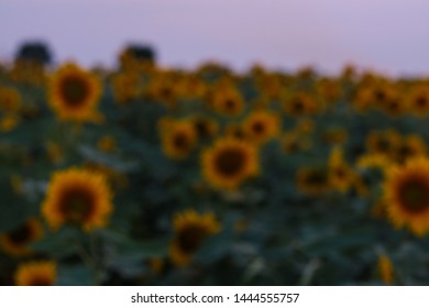 Intentionally blurred field of bloomed sunflowers.