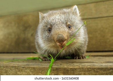 Interaction with a cute wombat joey, Australian herbivore marsupial. Front view close up of a wombat joey, Vombatus ursinus, eating grass.