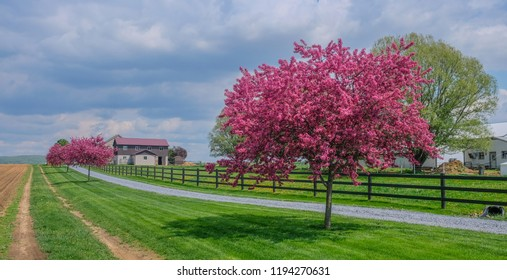 Intercourse, Lancaster, Pensylvania, USA - May 7, 2018: Cherry blossoms on a rural road on a sunny day