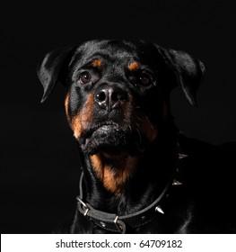 interest rottweiler portrait
