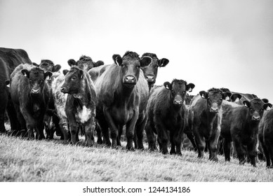 Interested cows and calves