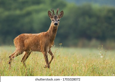 Interested roe deer, capreolus capreolus, walking on a meadow with wildflowers in fresh summer environment. Curious male mammal with antlers moving with leg bent as taking a step from side view.
