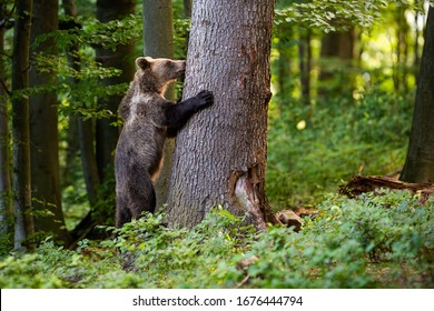 Interested young brown bear, ursus arctos, grasping a tree in spring forest. Wondering mammal climbing on big trunk in woodland with copy space from side view.