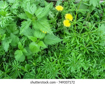 Interesting abstract floral background of three plants geometrically divided into areas. Galium aparine, nettle and dandelion  occupy three homogeneous fields in the photo
