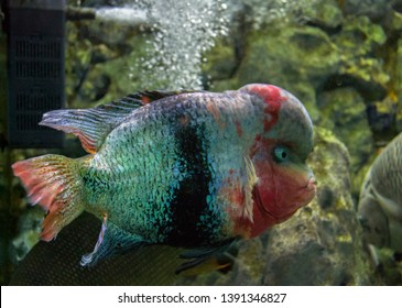 Interesting aquarium fish. Flowerhorn cichlid. Man-made hybrid. Fishkeeping. Gene engineering.