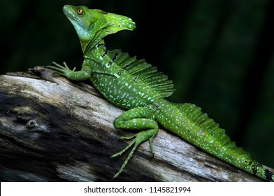 Interesting detail in nature. Profile of a green lizard up close. Green lizard standing on a piece of old wood and watching carefully in front of it. A dark green background.