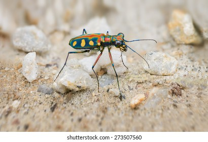 Interesting Extreme Closeup of a Brightly Colored, Iridescent Tiger Beetle in the Wild, standing on its long, spindly legs in the sun.