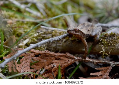 AN interesting eye level view of a native Ontario wood frog species known as Lithobates sylvaticus.