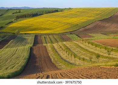 Interesting fields of rapeseed