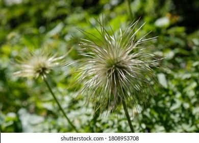 Interesting fruiting plants of Pulsatilla alpina (alpine pasqueflower or alpine anemone) look like fluffy ball, met in Velebit National Park, Dinaric Mountains, Croatia.