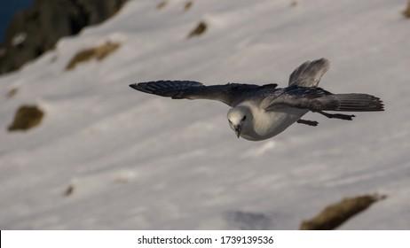 The interesting fulmar. A common seabird all around Iceland.