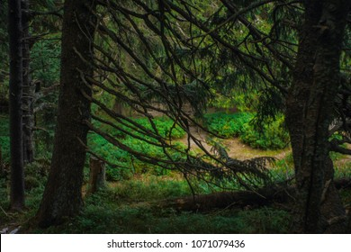 interesting green moody spruce forest landscape