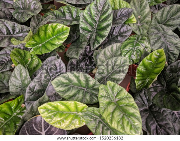Interesting patterned leaves with a mixture of light and dark green leaves  of Elephant Ears Plant (Alocasia baginda Dragon Scale)