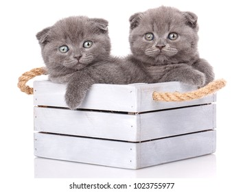 Interesting Scottish kittens. Research of new territories. Thoroughbred cats. Couple fold cats sitting in a wooden box on a white background
