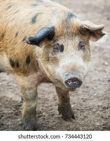 interesting shot of pig