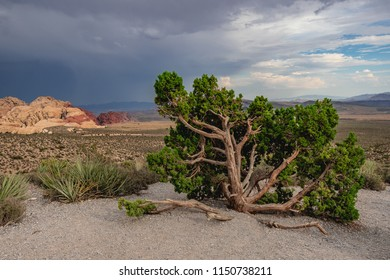 An interesting tree in the middle of a desert mountain landscape at Red Rock Canyon National Park, Las Vegas, Nevada.