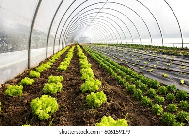 Interior of an agricultural greenhouse or tunnel with long rows of fresh green spring salad seedlings being cultivated for the table with lettuce and corn salad