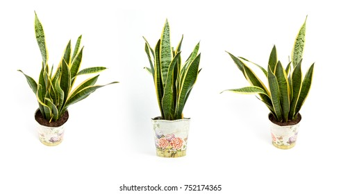 Interior decoration. Sansevieria trifasciata or Snake plant in pot on a white background