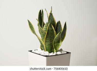 Interior decoration. Sansevieria trifasciata or Snake plant in pot on a white background