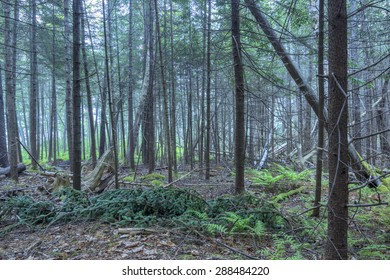Interior of dense pine forest with fallen trees and branches in coastal Maine of northeastern United States under dreary fog