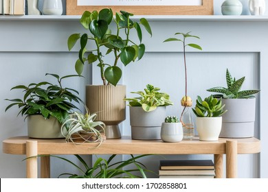 Interior design of living room with wooden console, beautiful composition of plants in different hipster and design pots, books and elegant personal accessories in home garden.