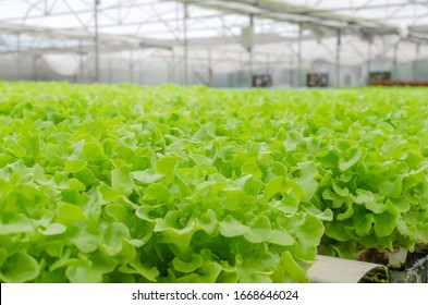 interior indoor view of organic hydroponic fresh green vegetables produce in greenhouse garden nursery farm, agriculture business, smart farming technology, business farmer and healthy food concept