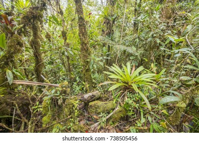 The interior of montane rainforest with mossy tree trunks and a bromeliad in the foreground in the  Cordillera del Condor, a site of high biodiversity and endemism in southern Ecuador.