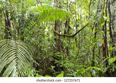 Interior of primary rainforest in Ecuador with palms and liana.