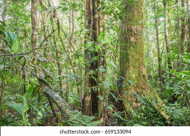 Interior of pristine tropical rainforest in the Ecuadorian Amazon with liana in foreground