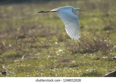 Intermediate egret (Ardea intermedia) in flight. Keoladeo Ghana. Bharatpur. Rajasthan. India.