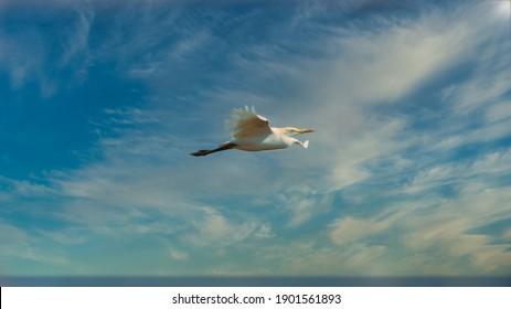 The intermediate egret, median egret, smaller egret, or yellow-billed egret (Ardea intermedia) is a medium-sized heron. Some taxonomists put the species in the genus Egretta or Mesophoyx.