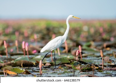 Intermediate Egret or Plumed Egret in wetlands Thale Noi, one of the country's largest wetlands covering Phatthalung, Nakhon Si Thammarat and Songkhla ,South of THAILAND.