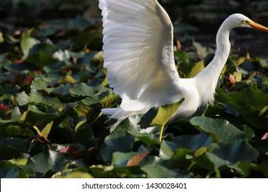 Intermediate Egret in Sydney Australia