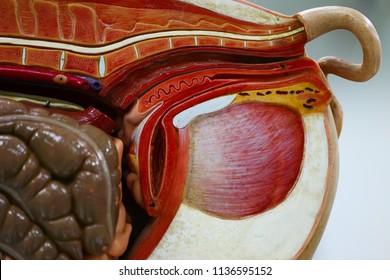 Animal internal organ images stock photos vectors shutterstock internal organs of pig pig anatomy model pig internal organs diagram beautiful pig anatomy ccuart Gallery