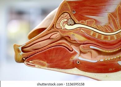 internal organs pig anatomy model 260nw 1136595158 animal internal organ images, stock photos & vectors shutterstock