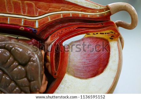 Internal Organs Pig Pig Anatomy Model Stock Photo Edit Now