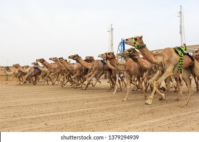 International Camel Racing Festival, a traditional arab culture in Kuwait