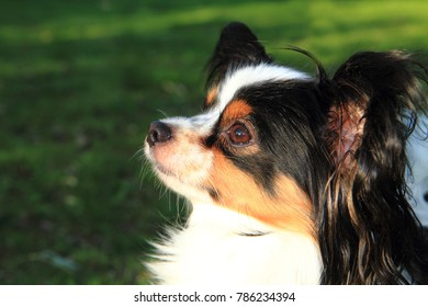 international champion papillon dog in the grass