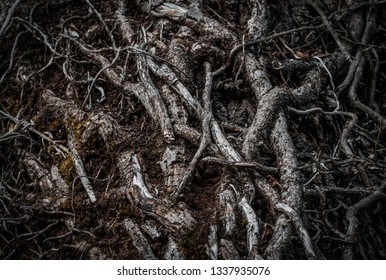 Intertwined roots of a tree in a dark forest. Selective focus. Dark mystery magical nature background.