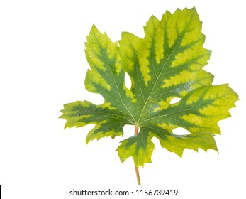 Interveinal chlorosis caused by iron or nitrogen deficiency on a grape vine. Agriculture, viticulture problem. Leaf isolated on white.