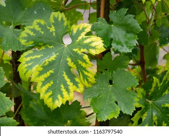 Interveinal chlorosis caused by iron or nitrogen deficiency on a grape vine. Agriculture, viticulture problem.