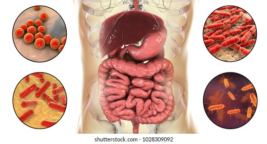 Intestinal microbiome, bacteria colonizing different parts of digestive system, Enterococcus, Lactobacillus, Bifidobacterium, Escherichia coli