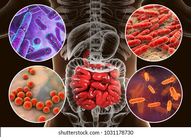 Intestinal microbiome, bacteria colonizing different parts of digestive system, Bifidobacterium, Lactobacillus, Enterococcus and Escherichia coli, 3D illustration