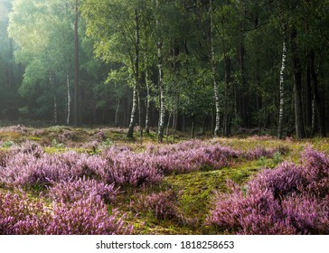 Intimate image of beautiful sunlight shining on flowering heather at the edge of a birch wood after the rain, Hulshorsterheide, Nuspeet, Veluwe
